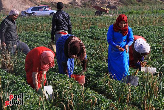 يهتم العمال  بجمع الفراولة مكتملة النضج  فقط