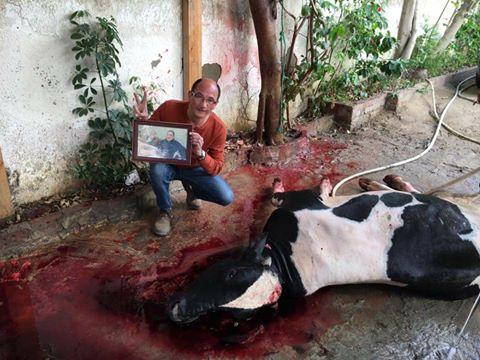 صورة آخرى لمؤيد لمبارك يذبح عجلا