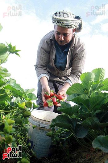 رائحة الفراولة  تملأ قريةالسويدات مع بداية  فترة الحصاد