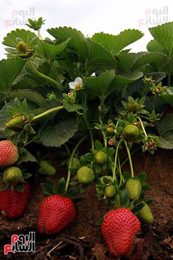موسم  حصاد الفراولة