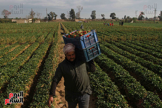 ينقل المحصول في سيارات إلي التجار ومصانع العصير والمربي