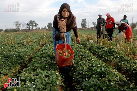 يتوقع ارتفاع سعر الفراولة هذا الموسم ل ارتفاع تكلفة الانتاج