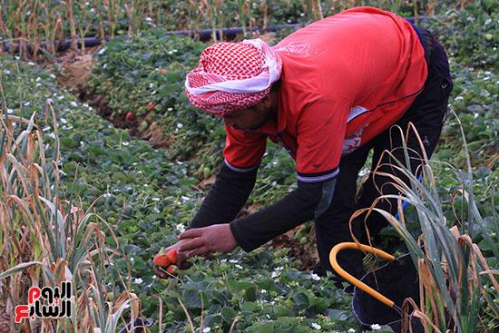 سنةل  يجمع الفراولة  بمزرعة  بالسويدات .