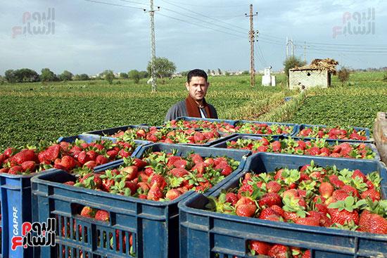 ينتهي  جمع الفراولة  عندما  تشتد درجة الحرارة