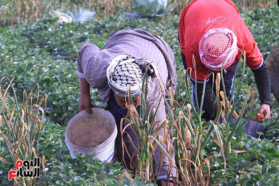 يفزر العمال  ثمار الفراولة السليمة بعيدًا عن التالفة