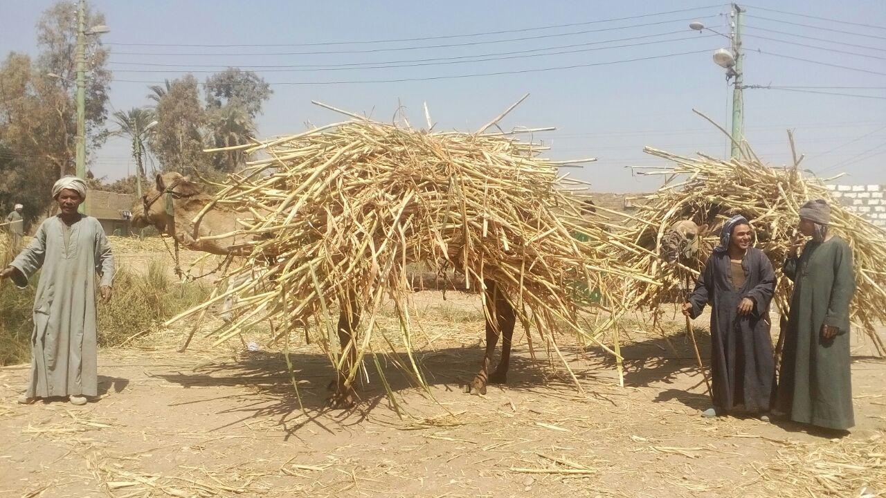 المزارعين اثناء شحن القصب على الجمال