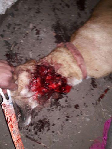 الكلب بعد الذبح