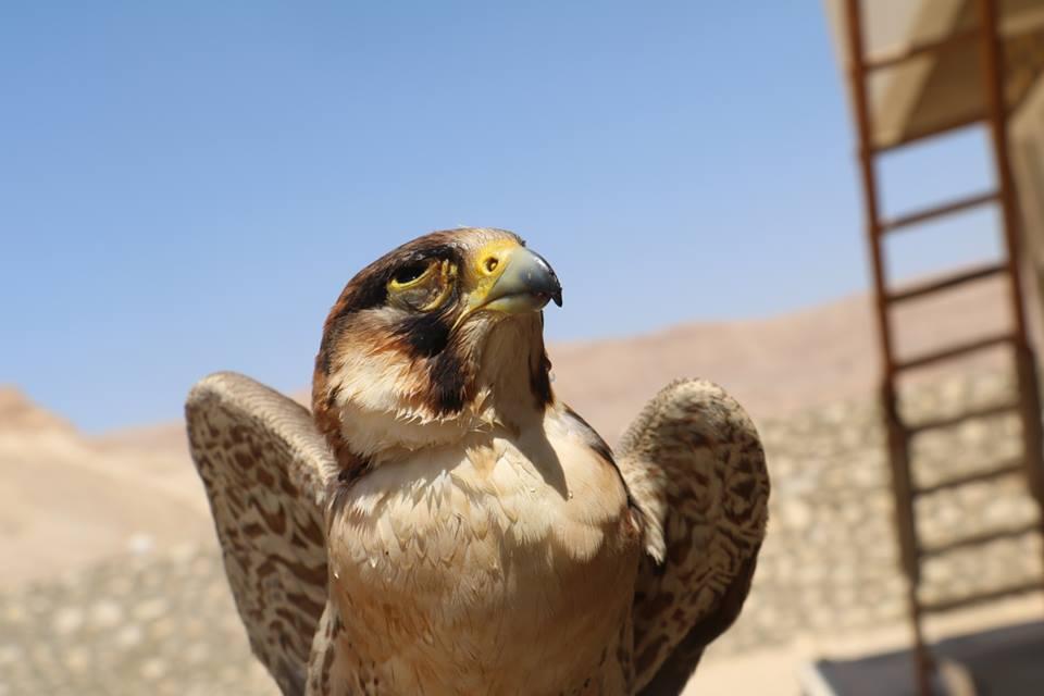 3- أحد الصقور التي تم إطلاقها من محمية الدبابية