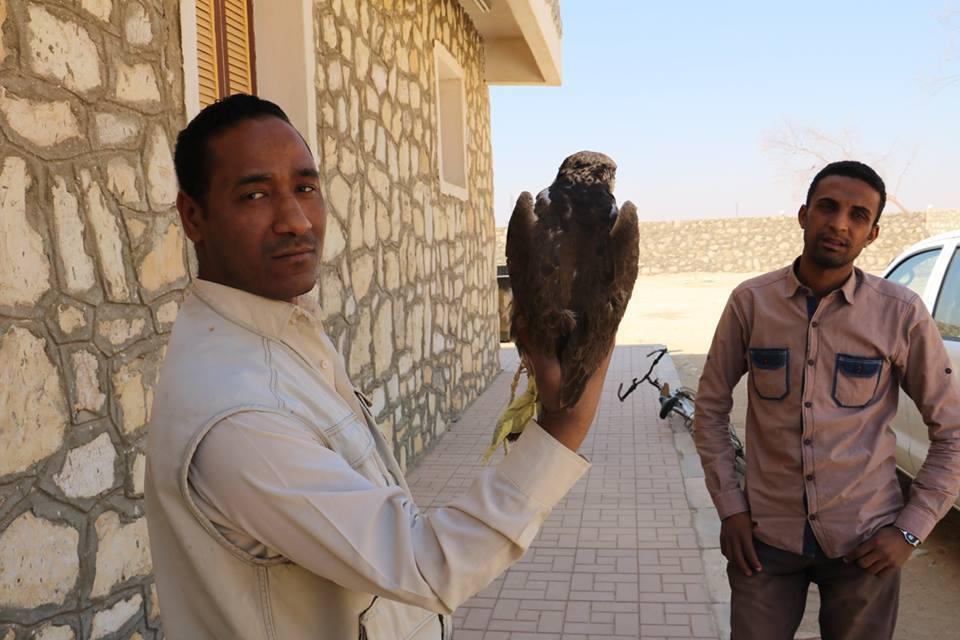 1- إطلاق 19 صقر في سماء الأقصر من محمية الدبابية بعد ضبطها في أحد القطارات بقنا