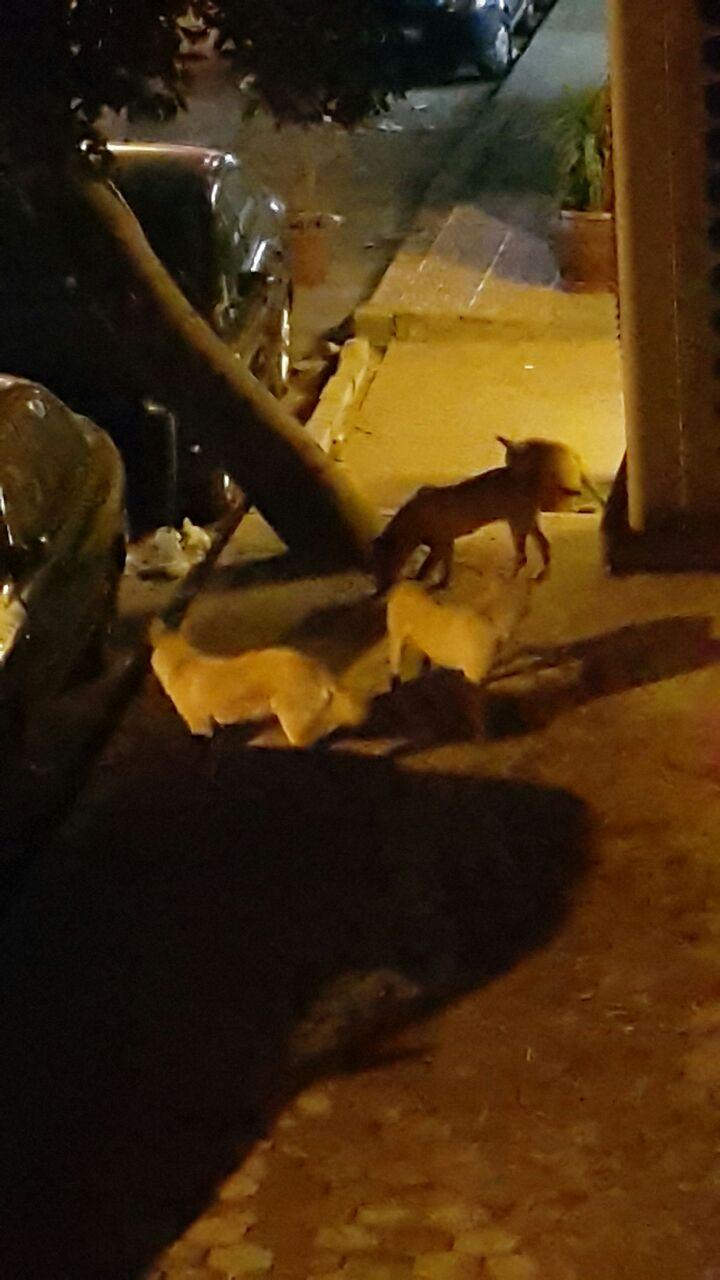 الكلاب الضالة فى شارع الإخشيد بالمنيل