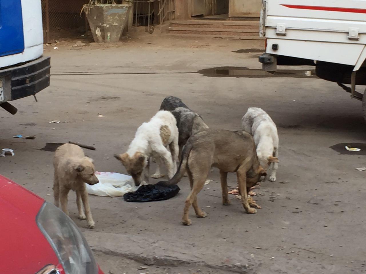بيطرى القليوبية يطارد الكلاب المفترسة (7)