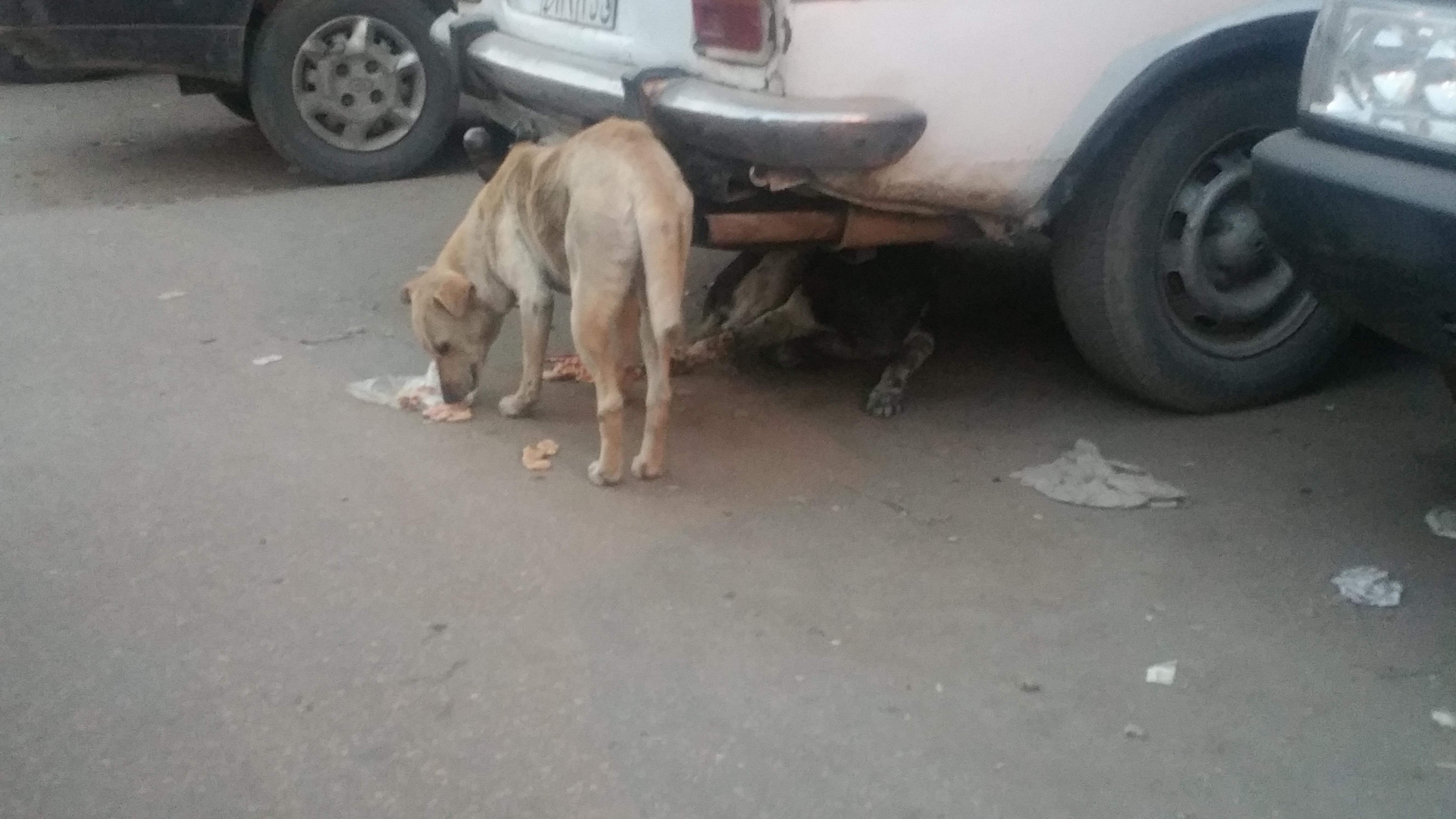 بيطرى القليوبية يطارد الكلاب المفترسة (5)