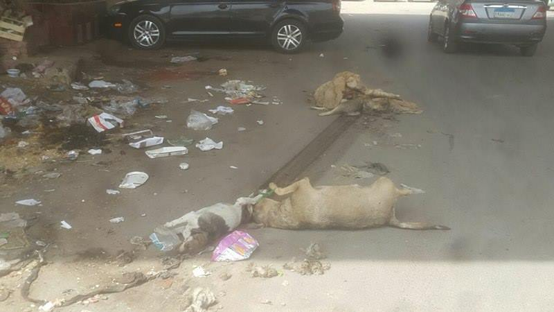 بيطرى القليوبية يطارد الكلاب المفترسة (1)