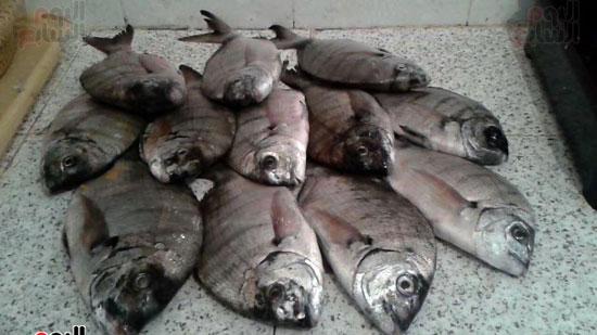 دنيس الإسكندرية أحد  أهداف  هواة الصيد  من أبو قير
