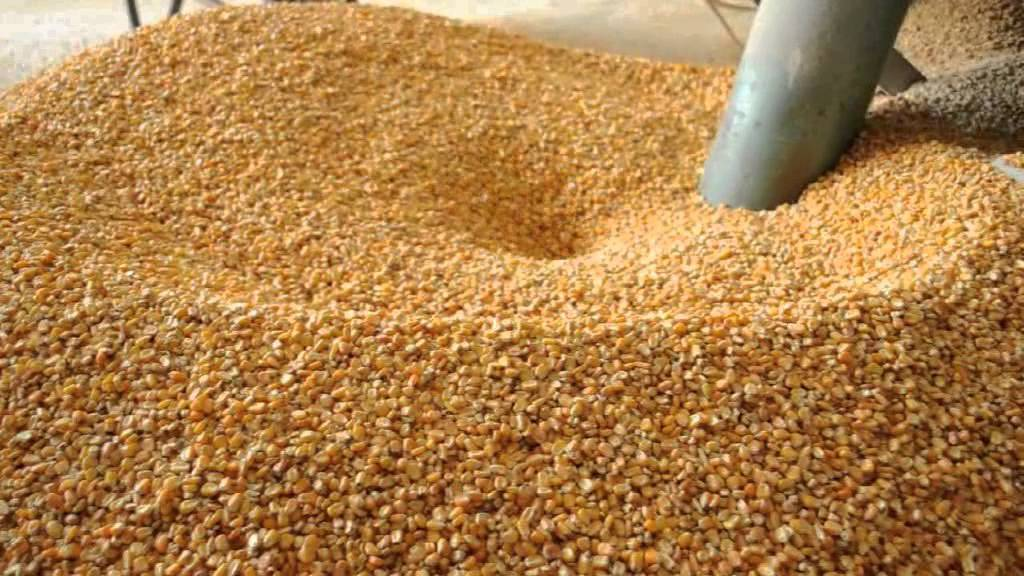 الذرة  الصفراء  لتصنيع الأعلاف
