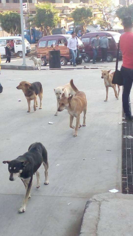 الكلاب الضالة فى الهانوفيل (1)