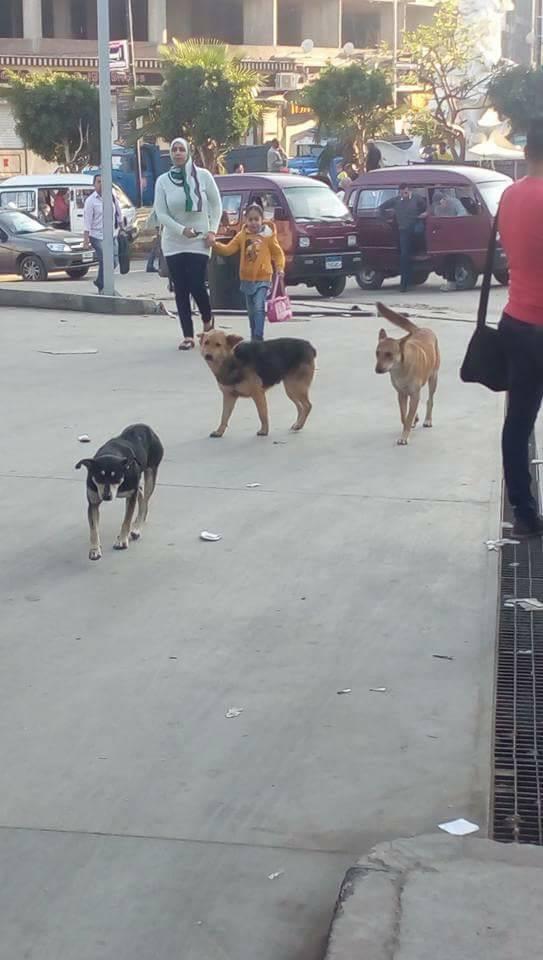 الكلاب الضالة فى الهانوفيل (2)