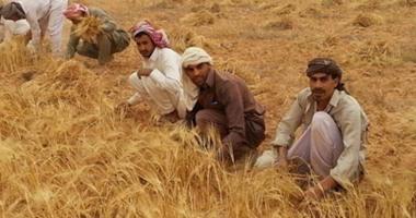 الفلاح فى مركز جهينة بسوهاج يستقبل موسم القمح الجديد بالسعادة أملاً فى رفع سعر الأردب