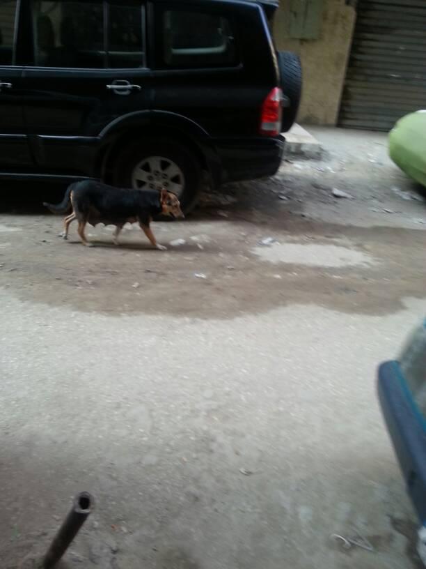 انتشار الكلاب فى شوارع عين شمس (2)