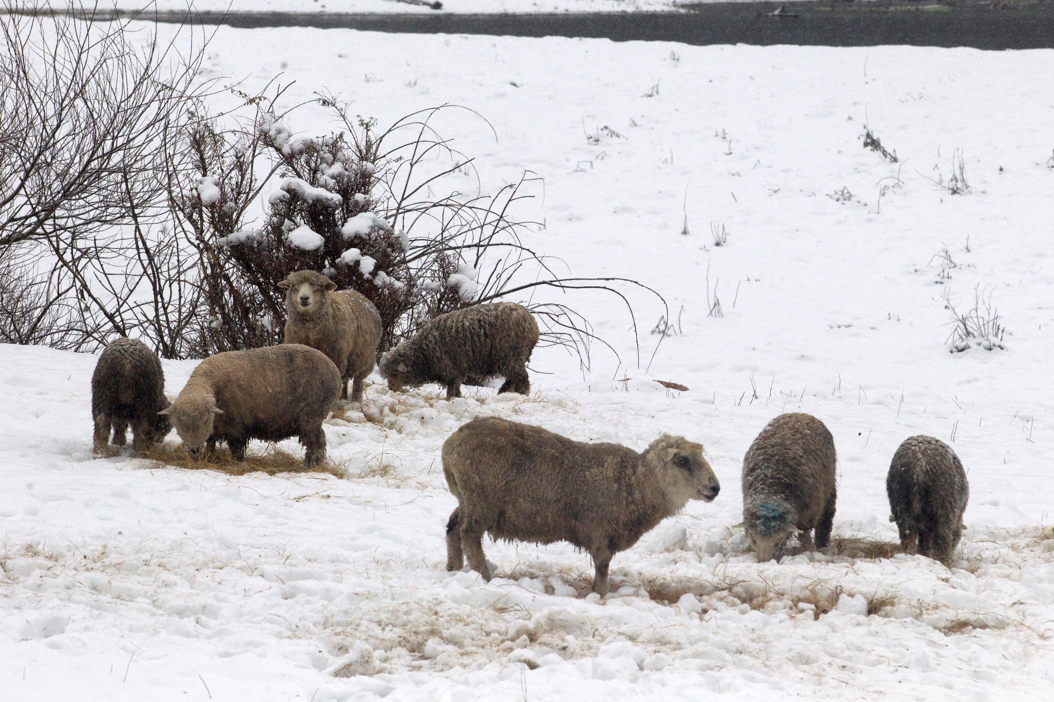 أبقار وسط الثلوج فى جمهورية تشيلى