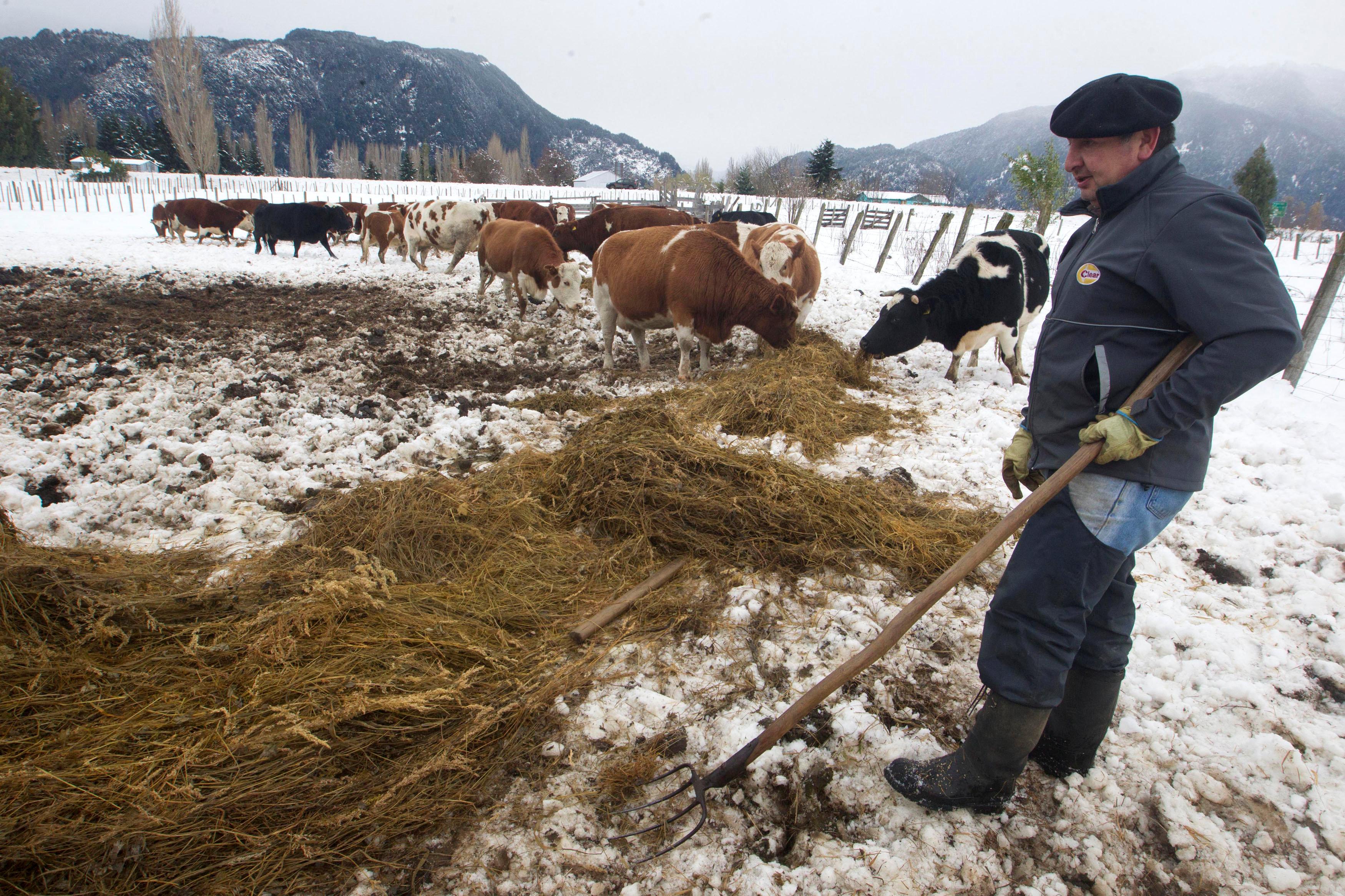 شخص يرعى أبقاره وسط الثلوج