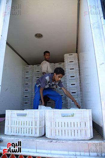 جمع العنب فى عربات لنقلها لمحطة التبريد والتغليف