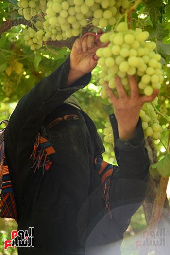 الفتيات خلال جنى العنب بالمزارع