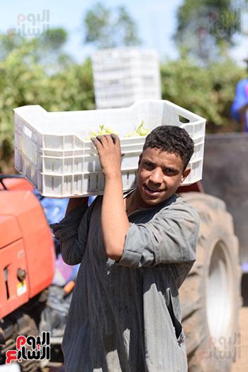 الشباب يحملون العنب لنقله لمحطة التبريد