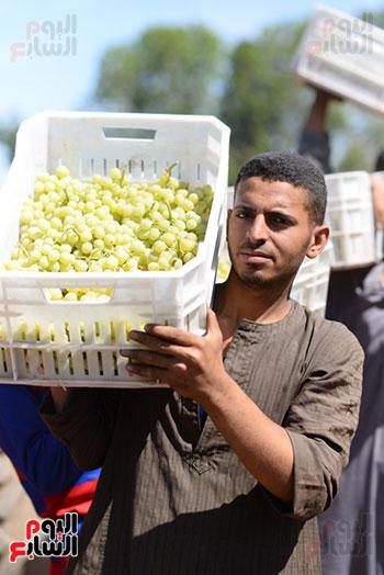 سعادة خلال موسم جنى ثمار فاكهة العنب بالاقصر