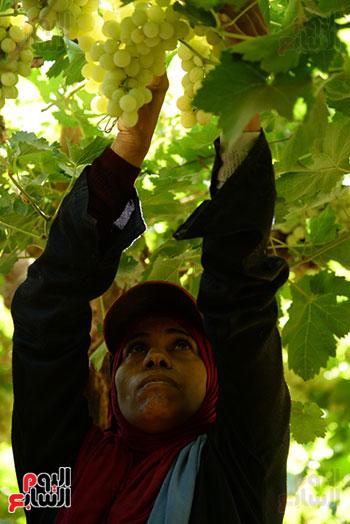 جنى ثمار فاكهة العنب فى الاقصر