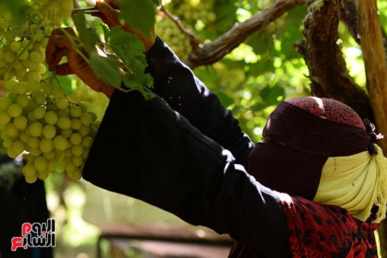 جانب من اعمال جنى ثمار العنب بالاقصر