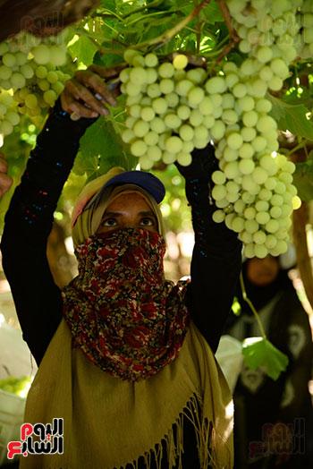 فتاة تجنى العنب داخل مزرعة بالاقصر