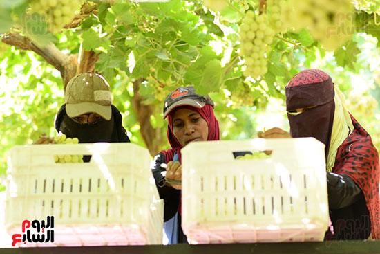 الفتيات يجمعن العنب قبل ارساله لمحطة التبريد والتغليف