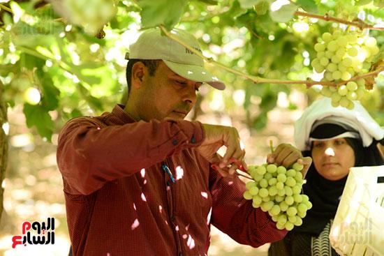 جنى ثمار فاكهة العنب من المزارع