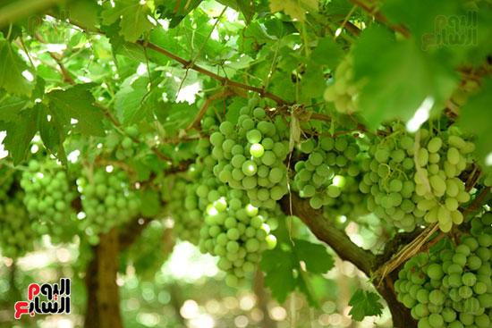 العنب يستعد للحصاد اعلى الاشجار بالاقصر