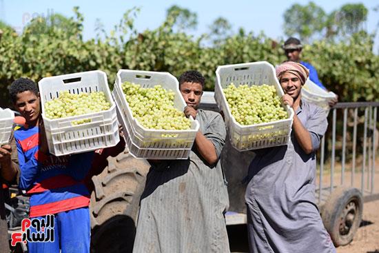 انطلاق موسم حصاد ثمار فاكهة العنب بالاقصر تمهيداً لتصديرها بالخارج