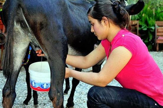 فتاة تركية تحلب حمارة