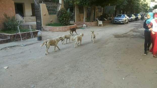 الكلاب الضالة فى شوارع حدائق الأهرام