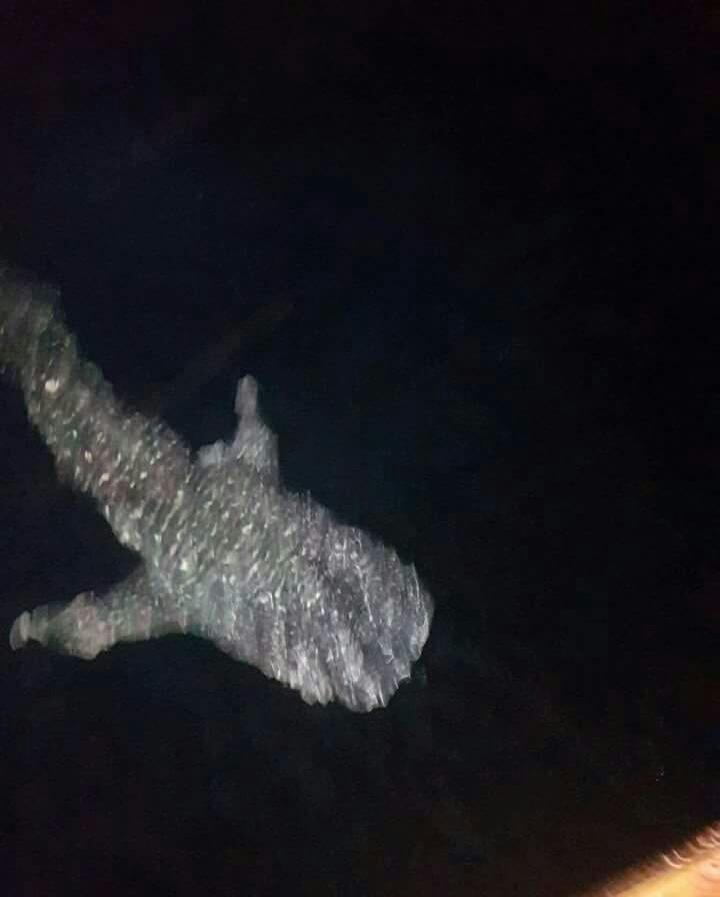 القرش الحوت يظهر ليلا بالغردقة