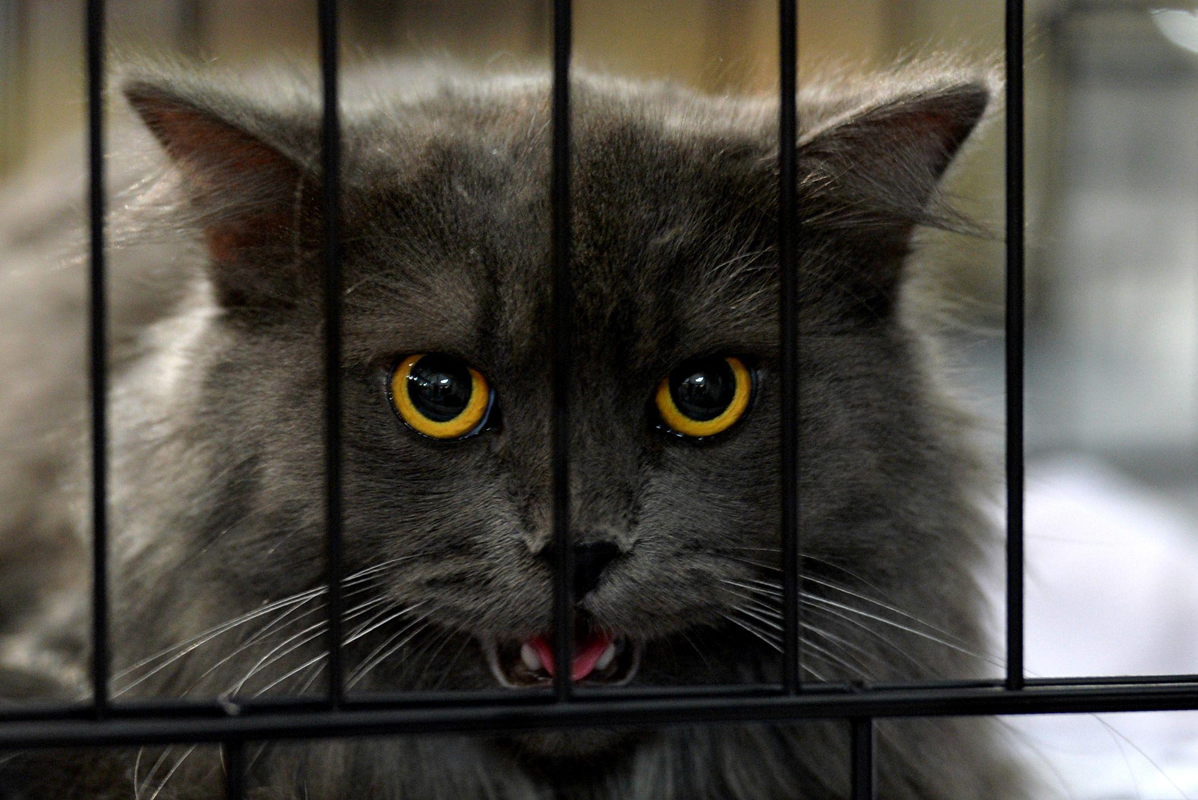 قطة داخل قفصها خلال المعرض الدولى بالهند
