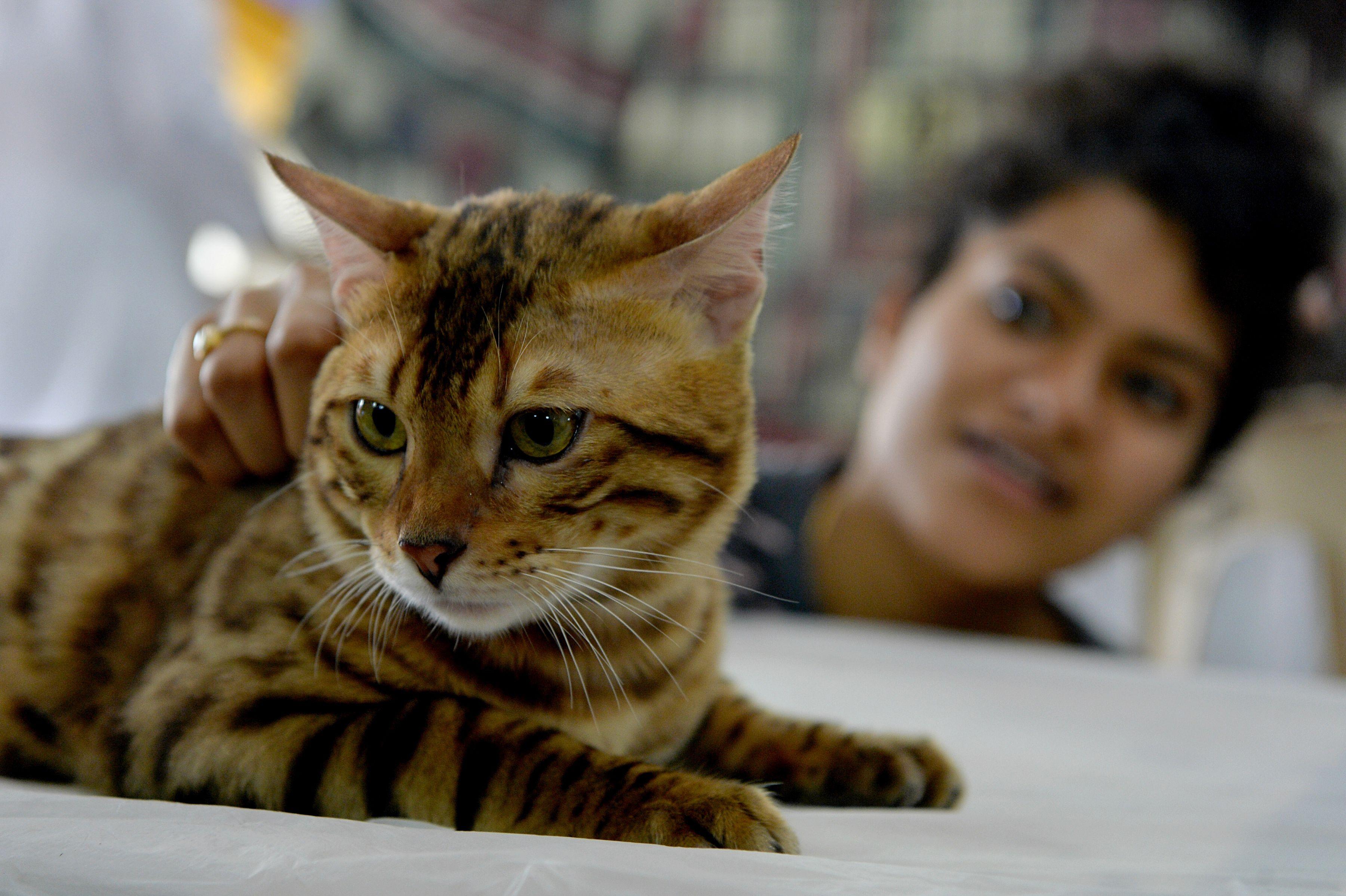 أحدى القطط المشاركات فى المعرض الدولى بالهند