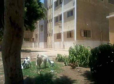 """الصورة تتحدث عن نفسها ،، """" الماعز """" والحيوانات فى مستشفى الشورانية بالمراغة بدلاً من الأطباء بسوهاج"""
