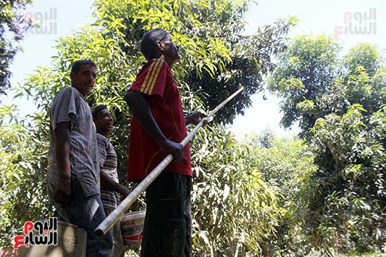 يسير فرج بين  أشجار المانجو، وهو يحمل خطاف بعصا طويلة، ليقطف بها الثمار الناضجة