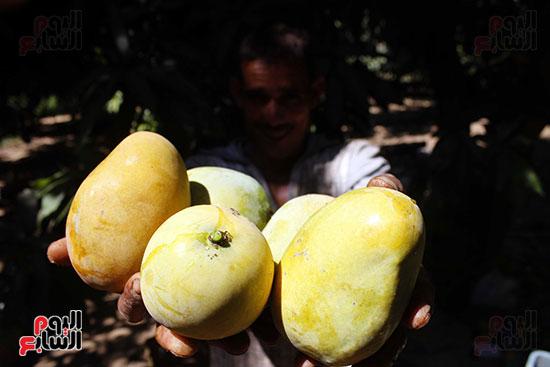 موسم المانجو  ينتظره المزارعون  كل  عام لجمع المكاسب.