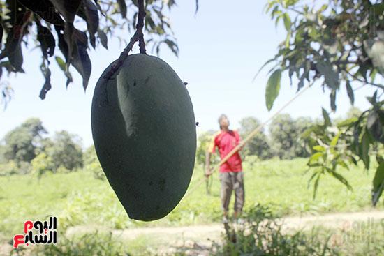 ثمرة مانجو لم تنضج وفي الخلفية مزارع يجمع الثمار