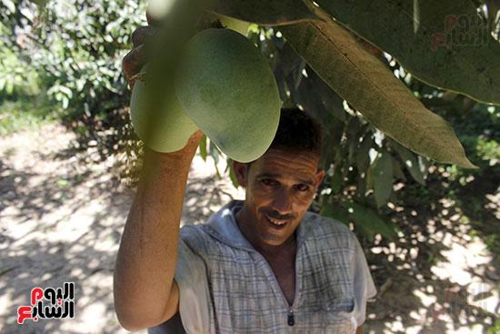 جمع ثمار المانجو
