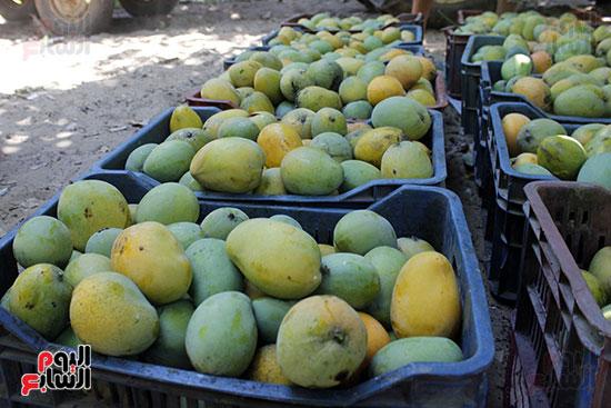 ثمار المانجو  قبل الفرز في المزارع