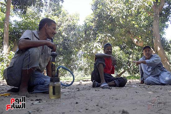 عمال مزرعة مانجو  في استراحة العمل