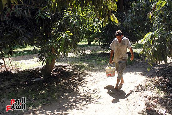 عامل  بالمزرعة  يسير  بثمار المانجو إلي  منطقة الفرز .