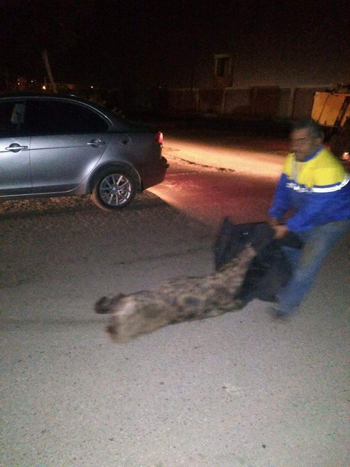 رفع الحيوان من الطريق